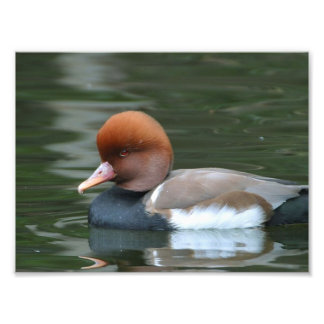Wild duck photo print