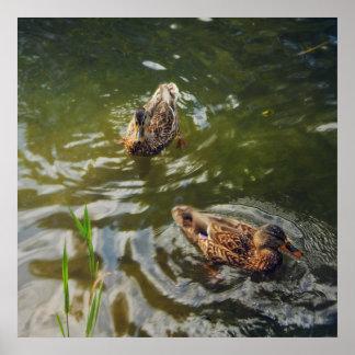 wild ducks poster