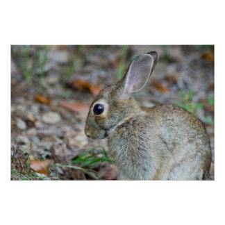 Wild Eastern Cottontail Rabbit Serenity Poster