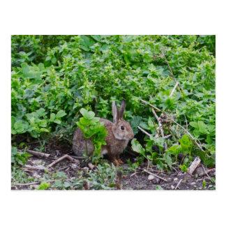 Wild English Rabbit Postcards