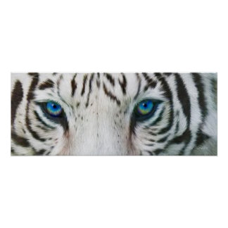 Wild Eyes - White Tiger Art Poster or Print