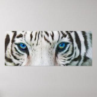 Wild Eyes - White Tiger Art Poster or Print
