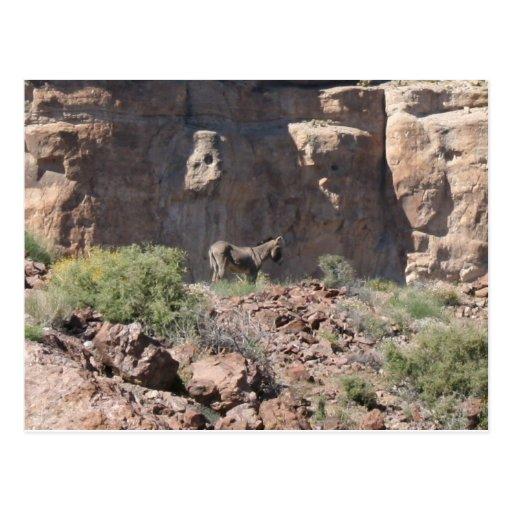 Wild Feral Donkey in Arizona Postcard