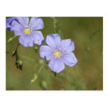 Wild Flax Flowers 2 Post Card