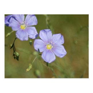 Wild Flax Flowers 2 Postcard