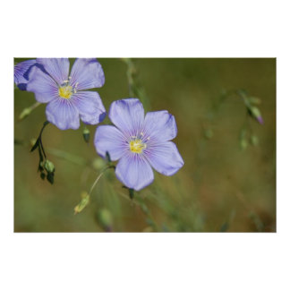 Wild Flax Flowers 2 Poster