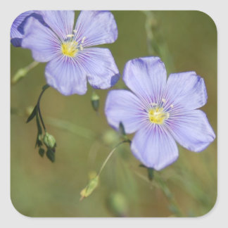 Wild Flax Flowers 2 Square Sticker