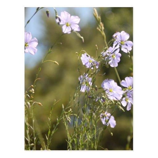 Wild Flax Flowers Postcards
