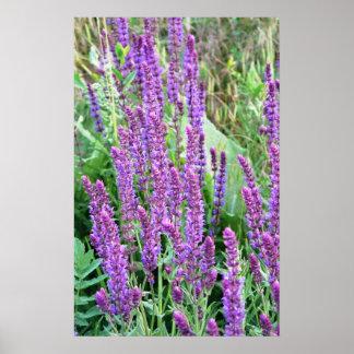 Wild flower fields purple salvia Romania Poster