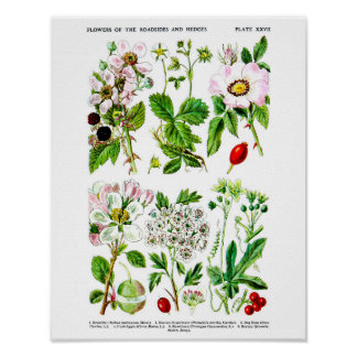 Wild Flowers Botanical Illustration Print no.6