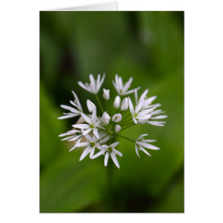 Wild garlic or ramsons Allium ursinum Card