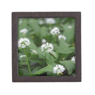 Wild garlic or ramsons Allium ursinum Gift Box
