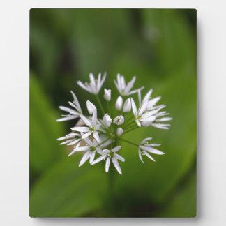 Wild garlic or ramsons Allium ursinum Plaque