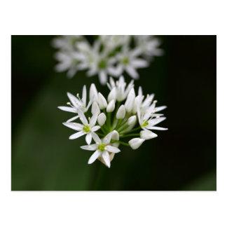 Wild garlic or ramsons Allium ursinum Postcard