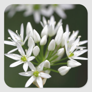 Wild garlic or ramsons Allium ursinum Square Sticker