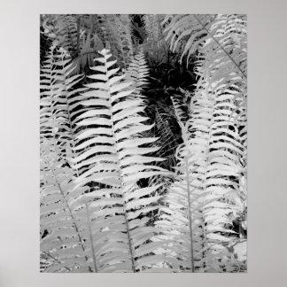 Wild giant leather fern, Florida, USA. Poster