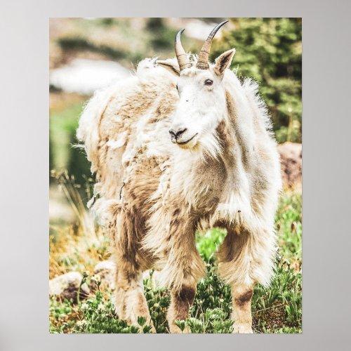 Wild Goat // Yosemite National Park