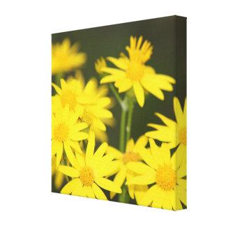 Wild Golden Ragwort Macro Closeup View Canvas Prints