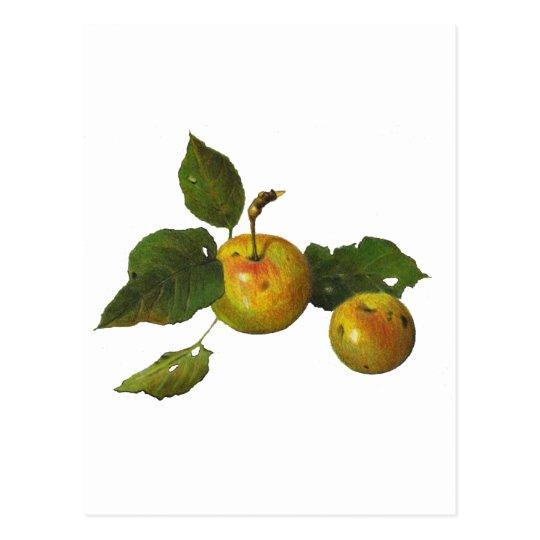 Wild Green Apples in Color Pencil: Original Art Postcard