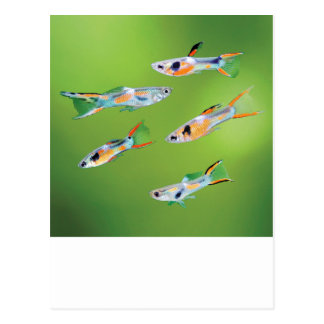 Wild Guppies Postcard