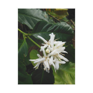Wild Hawaiian Coffee Blossoms Canvas Print