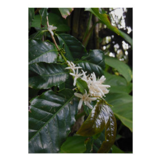 Wild Hawaiian Coffee Blossoms Poster