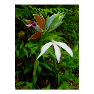 Wild Hawaiian Orchids Poster