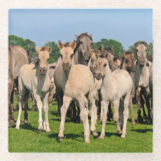 Wild Herd Grullo Colored Dulmen Horses Foals Photo Glass Coaster