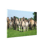 Wild herd of Duelmen Ponies with foals. Stretched Canvas Print