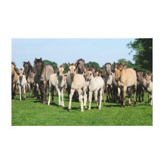 Wild herd of Duelmen Ponies with foals. Canvas Print