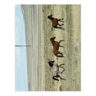 Wild Hore Studs Postcard