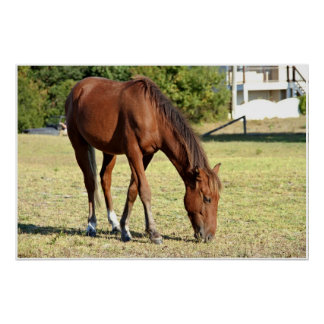 Wild Horse in Corolla Poster