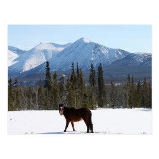 Wild Horse on Alaska Highway Postcard