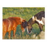 Wild Horses at Theodore Roosevelt National 2 Postcard