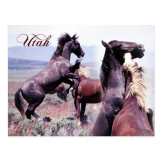 Wild horses fighting, Utah Postcard
