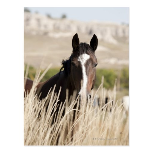 Wild horses in South Dakota Postcards