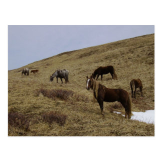 Wild Horses on Unalaska Island Postcard