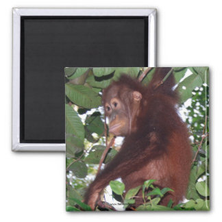 Wild Infant Orangutan 2 Inch Square Magnet