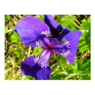Wild Iris top view, Unalaska Island Postcard