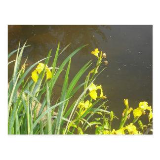 Wild Irises At Allegheny State Park Postcard