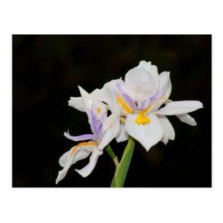 Wild Irises Postcard