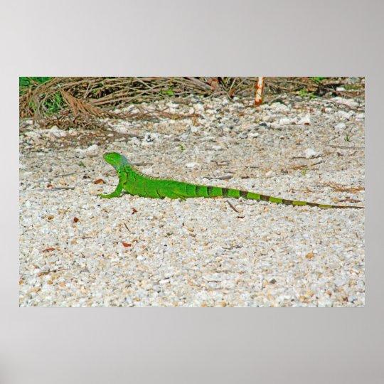 Wild Key West Iguana Poster