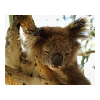 Wild koala sleeping on eucalyptus tree, Photo Letterhead