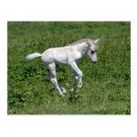 wild konik foal, postcard