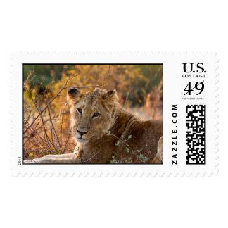 Wild Lioness - Postage Stamp