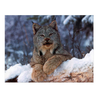 Wild Lynx In The Winter Postcard