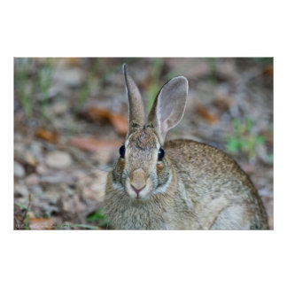 Wild Male Eastern Cottontail Rabbit Poster