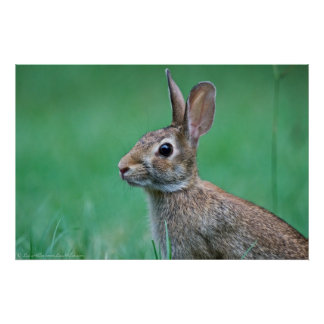 Wild Male Eastern Cottontail Rabbit Profile Poster
