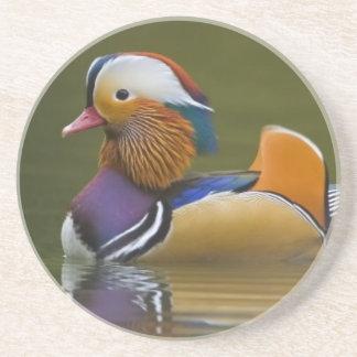 Wild Mandarin Duck Aix galericulata) on dark Coaster