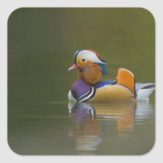Wild Mandarin Duck Aix galericulata) on dark Square Sticker